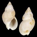 To Conchology (Buccinum crenatum)