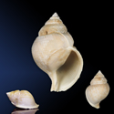 To Conchology (Galeodea alcocki cf.)