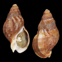 To Conchology (Burnupena catarrhacta cf.)
