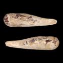 To Conchology (Leiosolenus attenuatus)