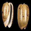 To Conchology (Oliva elegans cf.)