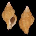 To Conchology (Ocinebrina corallina cf.)