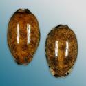To Conchology (Mauritia arabica & eglantina SHIPWRECK SET)