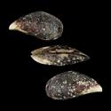 To Conchology (Mytilus californianus)