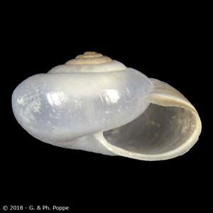 Monacha cartusiana
