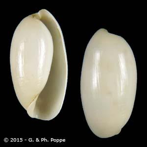 Aliculastrum cylindricum cf.