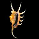 To Conchology (Lambis scorpius scorpius ORANGE)