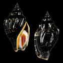 Canarium labiatum labiatum BLACK