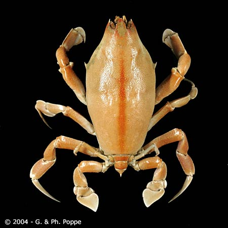 Lyreidus tridentatus