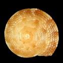 Heliacus africanus