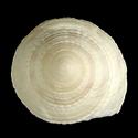 Heliacus trochoides