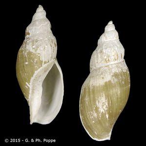 Miomelon philippiana