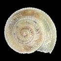 Solatisonax acutecarinata