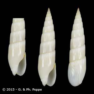 Hastula albula ALBINO