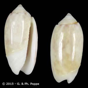 Oliva carneola f. adspersa