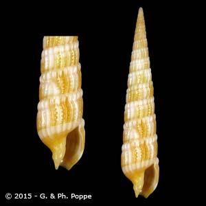Myurella columellaris