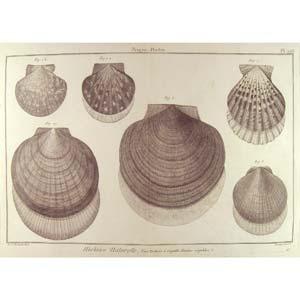 Encyclopédie méthodique, Bruguière, J.G., 1792. Plate 208. Peigne, Pecten.