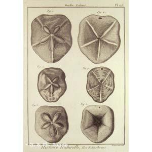 Encyclopédie méthodique, Bruguière, J.G., 1792. Plate 145. Ourfin, Echinus.