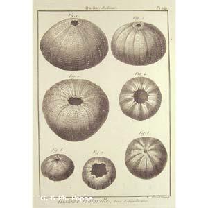 Encyclopédie méthodique, Bruguière, J.G., 1792. Plate 141. Ourfin, Echinus.
