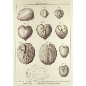 Encyclopédie méthodique, Bruguière, J.G., 1792. Plate 155. Ourfin, Echinus.