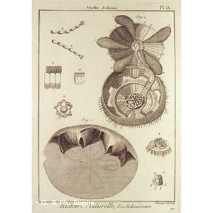Encyclopédie méthodique, Bruguière, J.G., 1792. Plate 131. Ourfin, Echinus.