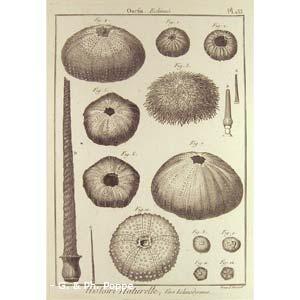 Encyclopédie méthodique, Bruguière, J.G., 1792. Plate 133. Ourfin, Echinus.
