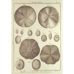 Encyclopédie méthodique, Bruguière, J.G., 1792. Plate 143. Ourfin, Echinus.