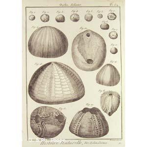 Encyclopédie méthodique, Bruguière, J.G., 1792. Plate 154. Ourfin, Echinus.