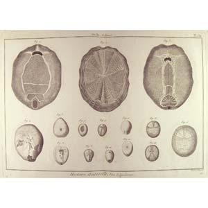 Encyclopédie méthodique, Bruguière, J.G., 1792. Plate 159. Ourfin, Echinus.