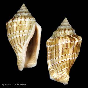 Canarium mutabile f. zebriolatus