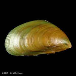 Chloromytilus viridis