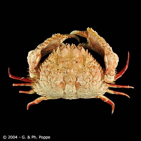 Calappa bicornis