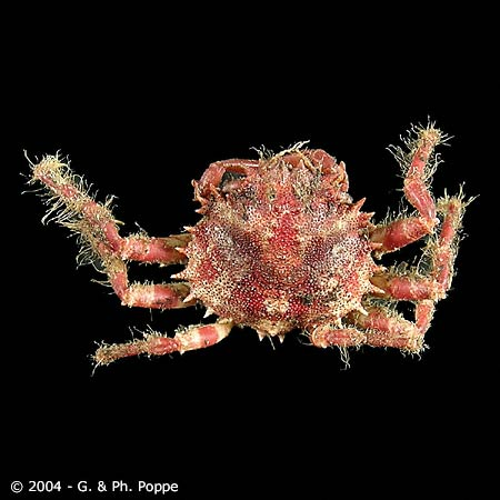 Cyclax suborbicularis
