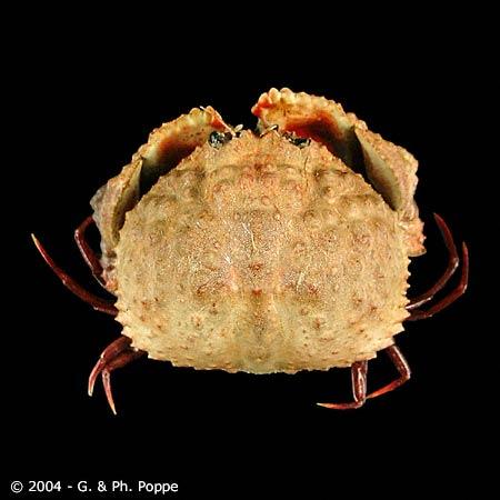 Calappa species 001