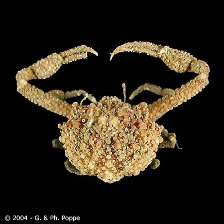 Pariphiculus agariciferus