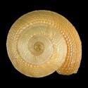 Heliacus subvariegatus