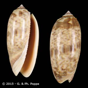 Oliva miniacea miniacea