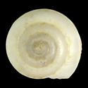 Philippia krebsii