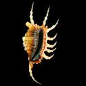 To Conchology (Lambis scorpius scorpius LARGE)