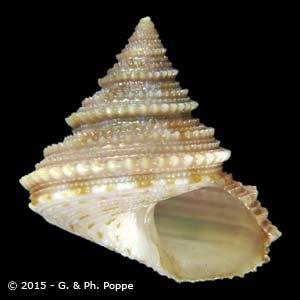 Calliostoma aculeatum aliguayensis