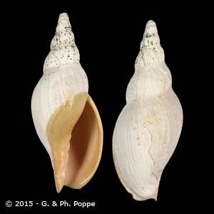 Alcithoe pseudolutea PERIO