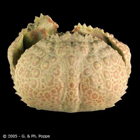 Calappa japonica