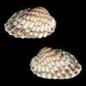 Carditamera floridana