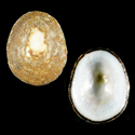 Acmaea antillarum