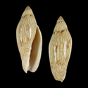 Amoria turneri NEWMANAE