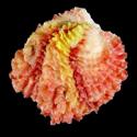 Chama brassica brassica SPECIAL COLOR