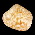 Indocrassatella pilula