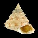 Calliostoma aculeatum aculeatum