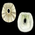 Amblychilepas javanicensis