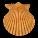 Aequipecten muscosus ORANGE